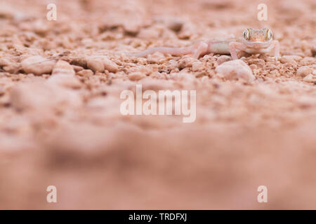 Arabian Short-fingered Gecko, Arabian sand gecko (Stenodactylus arabicus), sitting on the ground, Oman - Stock Photo