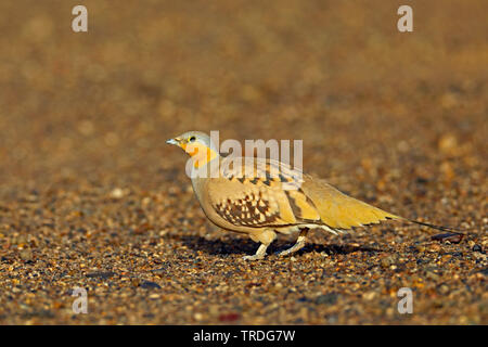 spotted sandgrouse (Pterocles senegallus), male perching on the ground, Morocco, Merzouga - Stock Photo