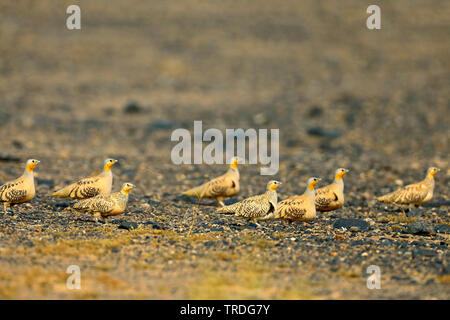 spotted sandgrouse (Pterocles senegallus), walking troop in the desert, Morocco, Merzouga - Stock Photo