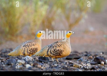 spotted sandgrouse (Pterocles senegallus), two males on stony ground, Morocco, Merzouga - Stock Photo