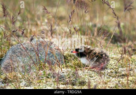 Kuestenseeschwalbe, Kuesten-Seeschwalbe (Sterna paradisaea), Kueken am Boden, Island   arctic tern (Sterna paradisaea), chick on the ground, Iceland   - Stock Photo
