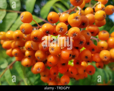 European mountain-ash, rowan tree (Sorbus aucuparia), branch with berries, Germany - Stock Photo