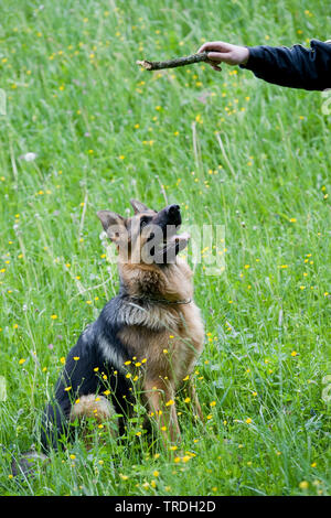 Deutscher Schaeferhund (Canis lupus f. familiaris), sitzt auf einer Wiese und und schaut auf ein Stoeckchen in der Hand des Hundefuehrers, Deutschland - Stock Photo