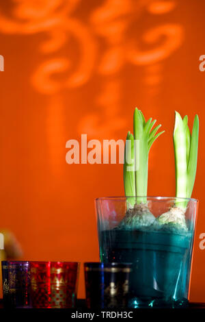 Jacinthe (Hyacinthus orientalis), Jacinthe in a glass als indoor plant - Stock Photo