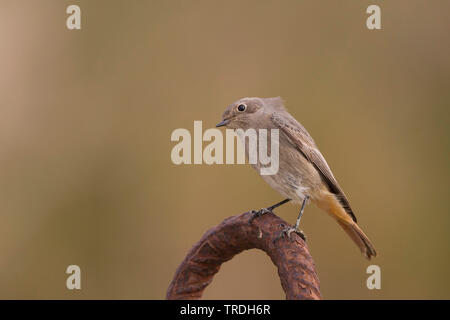 black redstart (Phoenicurus ochruros gibraltariensis), female, Germany - Stock Photo