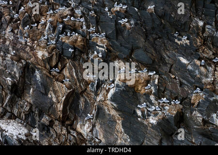 black-legged kittiwake (Rissa tridactyla, Larus tridactyla), in colony on a rock, Norway - Stock Photo