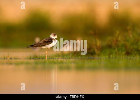 black-winged stilt (Himantopus himantopus), juvenile in water, Oman - Stock Photo