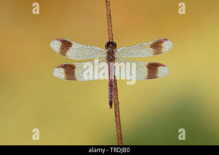 banded sympetrum, banded darter (Sympetrum pedemontanum), male covered with dew at a rush, Netherlands - Stock Photo