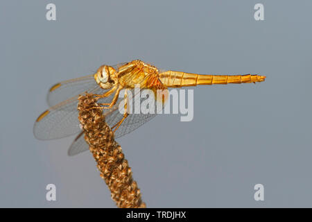 Broad Scarlet, Common Scarlet-darter, Scarlet Darter, Scarlet Dragonfly (Crocothemis erythraea, Croccothemis erythraea), female, Netherlands - Stock Photo
