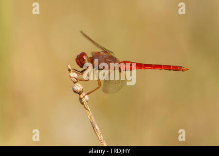 Broad Scarlet, Common Scarlet-darter, Scarlet Darter, Scarlet Dragonfly (Crocothemis erythraea, Croccothemis erythraea), male, Netherlands - Stock Photo