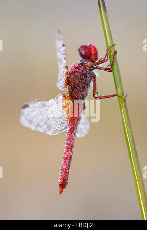 Broad Scarlet, Common Scarlet-darter, Scarlet Darter, Scarlet Dragonfly (Crocothemis erythraea, Croccothemis erythraea), male covered with morning dew, Netherlands - Stock Photo