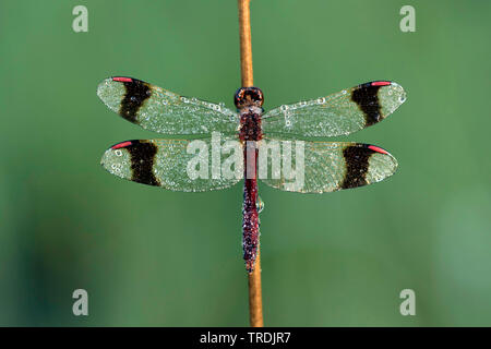 banded sympetrum, banded darter (Sympetrum pedemontanum), with morning dew, Netherlands - Stock Photo