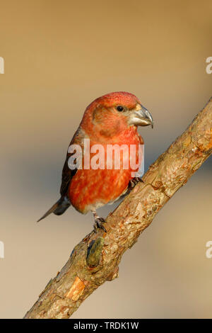 parrot crossbill (Loxia pytyopsittacus), male perching on a branch, Netherlands - Stock Photo