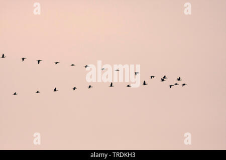 Chinese great cormorant (Phalacrocorax carbo sinensis, Phalacrocorax sinensis), flock flying in formation, Germany - Stock Photo