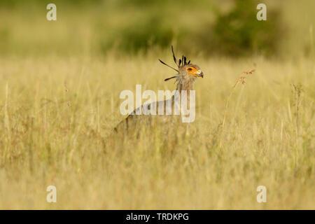 secretary bird, Sagittarius serpentarius (Sagittarius serpentarius), walking in high grassland, South Africa, Mpumalanga, Kruger National Park - Stock Photo