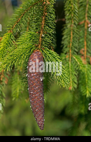 Norway spruce (Picea abies), cone, Germany, Bavaria, Ammergauer Berge - Stock Photo