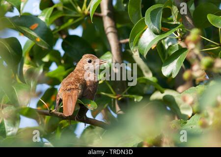 nightingale (Luscinia megarhynchos), juvenile perching on a branch, Germany - Stock Photo