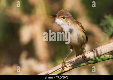 Eurasian Reed Warbler, Caspian Reed Warbler (Acrocephalus scirpaceus ssp. fuscus, Acrocephalus scirpaceus fuscus, Acrocephalus fuscus), perching an reed, Cyprus - Stock Photo