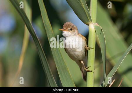 Eurasian Reed Warbler, Caspian Reed Warbler (Acrocephalus scirpaceus ssp. fuscus, Acrocephalus scirpaceus fuscus, Acrocephalus fuscus), perching at reed, Cyprus - Stock Photo