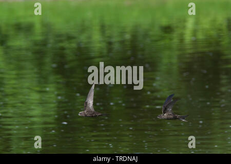 Eurasian swift (Apus apus), two swifts flying over water, Germany - Stock Photo