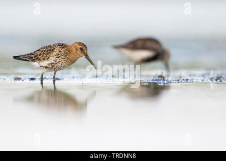 dunlin (Calidris alpina), first-years by the waterside, Germany - Stock Photo