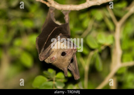 Egyptian rousette, Egyptian Fruit Bat (Rousettus aegyptiacus, Rousettus aegypticus), hanging at a branch, Oman - Stock Photo