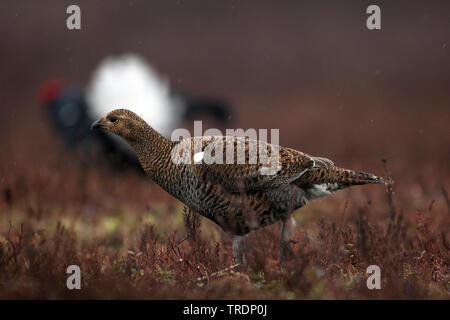 black grouse (Lyrurus tetrix, Tetrao tetrix), standing on the ground, Netherlands