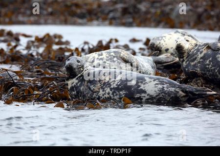 gray seal (Halichoerus grypus), resting, United Kingdom, England, Northumberland, Farne Islands - Stock Photo