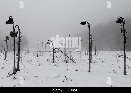 sunflowerfield in winter in black and white, Hungary - Stock Photo