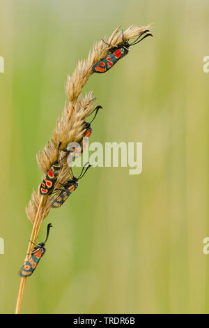 Auspicious Burnet Moth (Zygaena fausta, Zygaena faustina), on a grass, Hungary - Stock Photo
