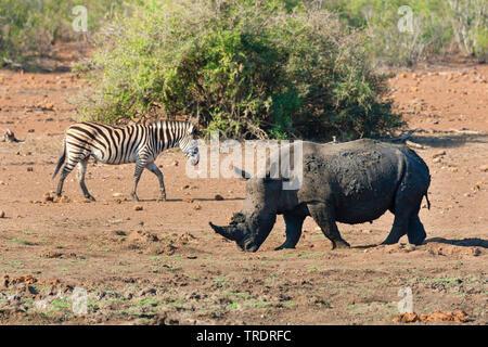 white rhinoceros, square-lipped rhinoceros, grass rhinoceros (Ceratotherium simum), and zebra in savanna, South Africa, Mpumalanga, Kruger National Park - Stock Photo
