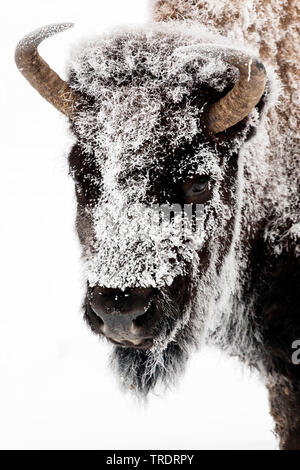 American bison, buffalo (Bison bison), portrait in winter, front view, USA, Wyoming, Yellowstone National Park - Stock Photo