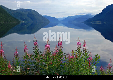 Fireweed, blooming sally, Rosebay willow-herb, Great willow-herb (Epilobium angustifolium, Chamerion angustifolium), Hornindalsvatn, Europe's deepest lake, Norway