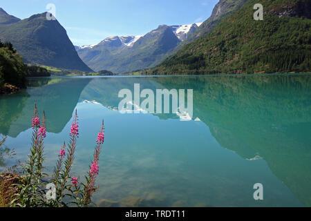 Fireweed, blooming sally, Rosebay willow-herb, Great willow-herb (Epilobium angustifolium, Chamerion angustifolium), lake Oldenvatn in mountain scenery, Norway, Oldenvatn