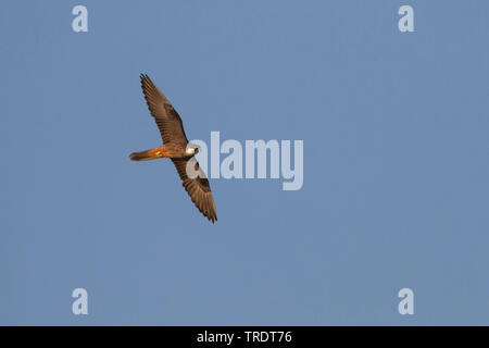 Eleonora's falcon (Falco eleonorae), flying, Cyprus - Stock Photo