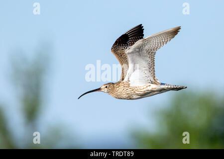 western curlew (Numenius arquata suschkini, Numenius suschkini), in flight, Russia, Ural - Stock Photo