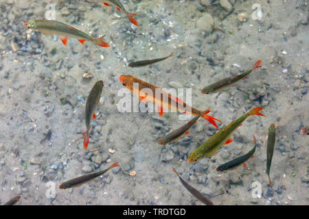 rudd (Scardinius erythrophthalmus), golden color-form between autochthonous, Germany, Bavaria - Stock Photo