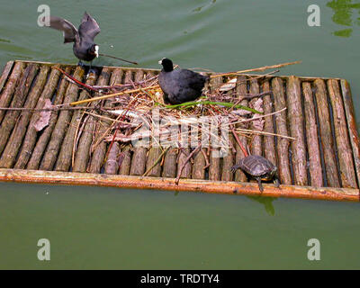 black coot (Fulica atra), pair nesting on a pontoon as neestng aid, Germany - Stock Photo