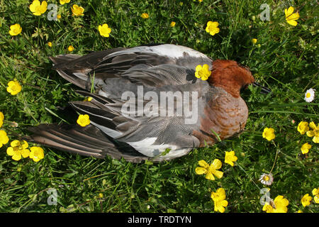 European wigeon (Anas penelope, Mareca penelope), dead drake in a blooming meadow, view from above, Netherlands - Stock Photo