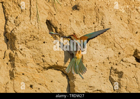 European bee eater (Merops apiaster), getting a waps to the chicks in a breeding cave, Germany, Bavaria - Stock Photo