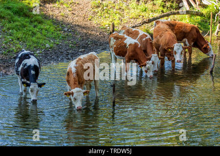 domestic cattle (Bos primigenius f. taurus), cattles standing in a creek and drinking, Germany, Bavaria, Lake Chiemsee - Stock Photo
