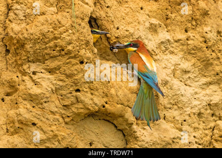 European bee eater (Merops apiaster), bringing a bumble bee to a waiting young bird in a breeding hole, Germany, Bavaria - Stock Photo