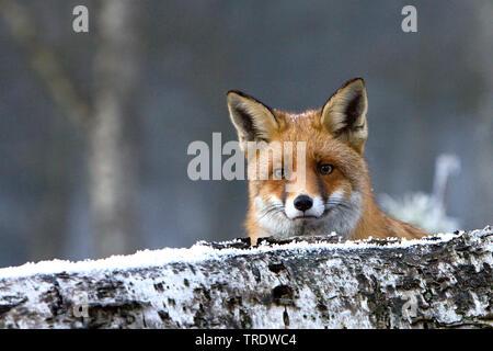 Rotfuchs, Rot-Fuchs (Vulpes vulpes), im Winter, schaut hinter einem Baumstamm hervor, Niederlande | red fox (Vulpes vulpes), in winter, Netherlands | - Stock Photo
