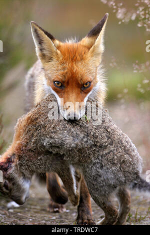 red fox (Vulpes vulpes), walking with a  hunting dowm rabbit in the mouth, front view, Netherlands