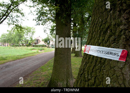 oak processionary moth (Thaumetopoea processionea), with lable on a trunk, Netherlands - Stock Photo
