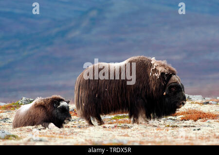 Muskox (Ovibos moschatus), cow with calf in the tundra, side view, Norway, Dovrefjell Sunndalsfjella National Park, Kongsvold - Stock Photo