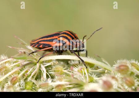 Italian Striped-Bug, Minstrel Bug (Graphosoma lineatum, Graphosoma italicum), on umbellifer, Germany - Stock Photo