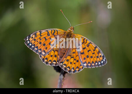 dark green fritillary (Argynnis aglaja, Speyeria aglaja, Mesoacidalia aglaja), male sunbathing with outstretched wings, view from above, Germany, Bavaria, Niederbayern, Lower Bavaria - Stock Photo