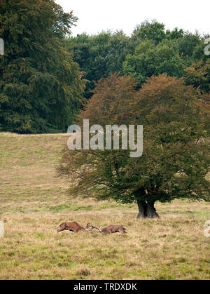 red deer (Cervus elaphus), two fighting stags, side view, Netherlands - Stock Photo
