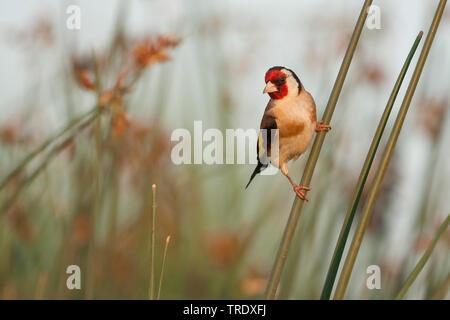 Eurasian goldfinch (Carduelis carduelis balcanica, Carduelis balcanica), adult male, Croatia - Stock Photo
